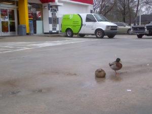 Husband Duck